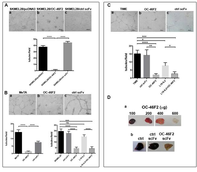OC-46F2 inhibits vascular mimicry and angiogenesis.