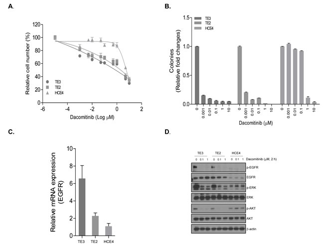 The anti-tumor efficacy of dacomitinib in ESCC cell lines with different EGFR expression.