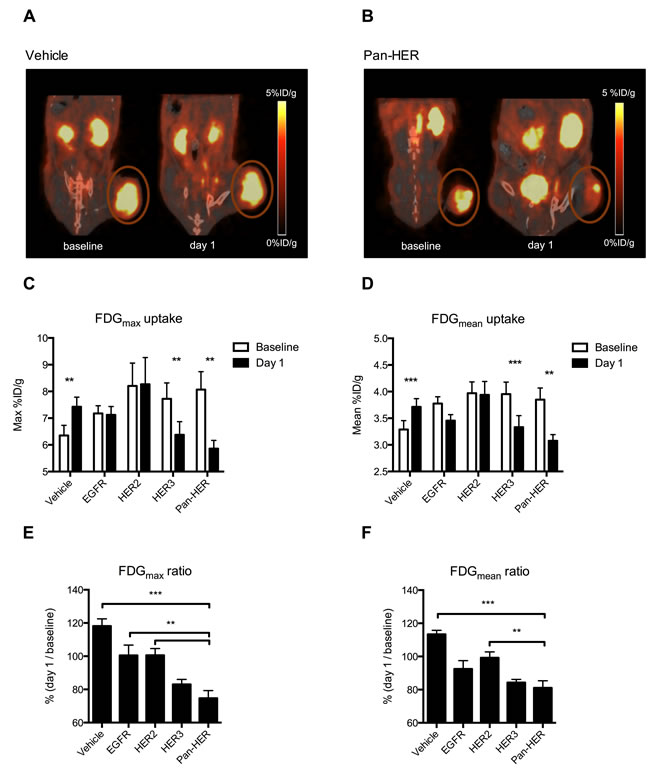 FDG uptake is reduced upon treatment with Pan-HER.