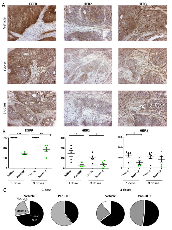 EGFR, HER2 and HER3 staining in BxPC-3 xenograft tumors after Pan-HER treatment.