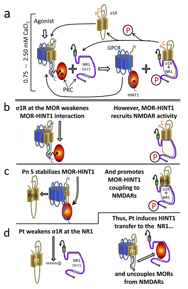 Diagram showing the σ1R- and calcium-dependent swapping of HINT1 proteins between GPCRs (MOR) and NMDAR NR1 subunits.