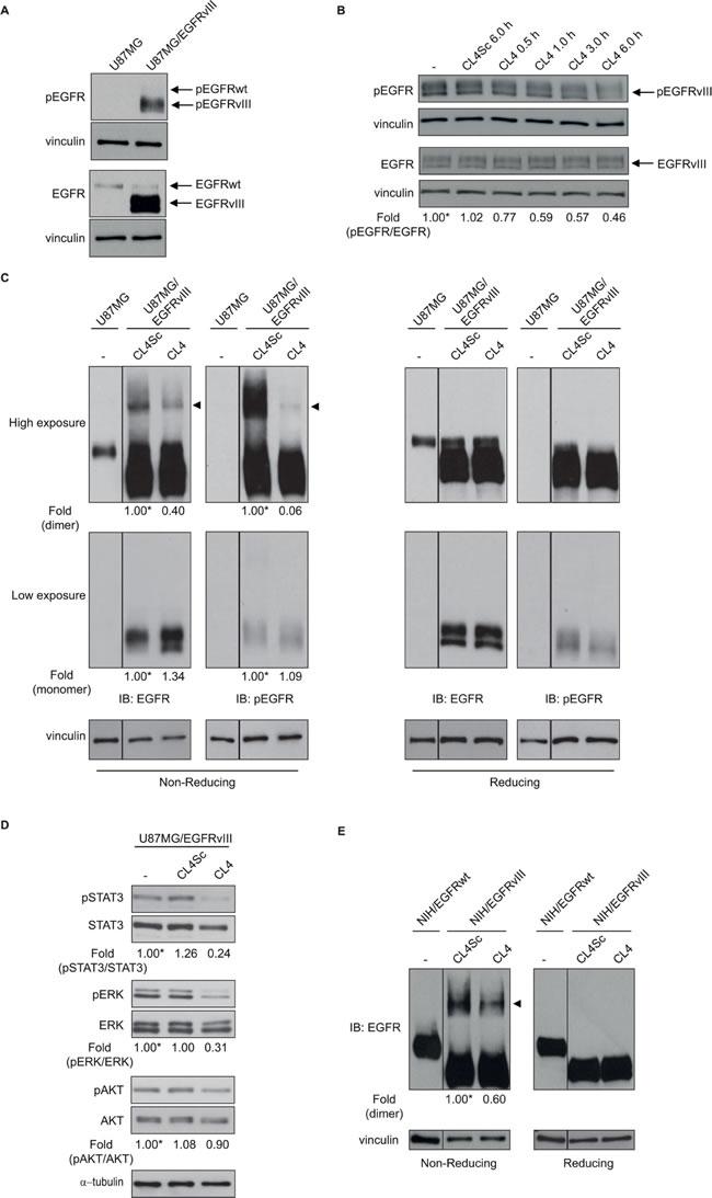 CL4 hampers EGFRvIII activation.