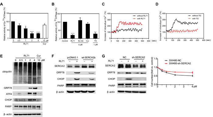 RL71 displays SERCA2-inhibiting activity and facilitates apoptosis by inducing ER stress in SW480 cells.