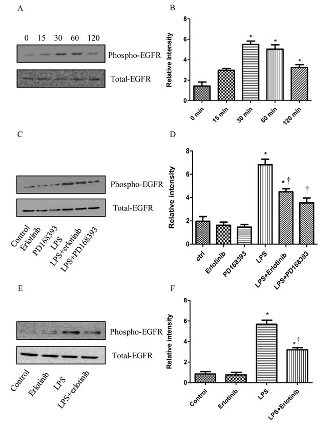 The inhibitory effect of PD168393 or Erlotinib on the trans-activation of EGFR by LPS.