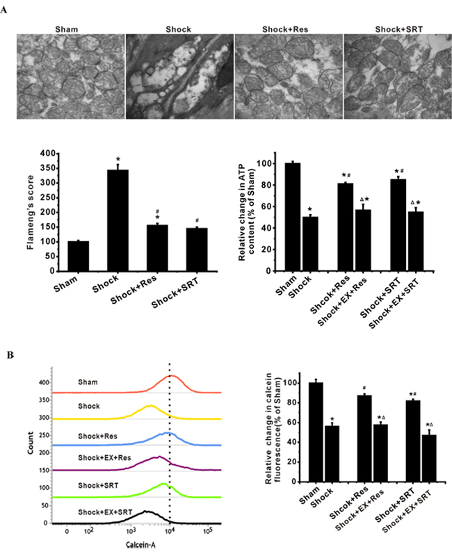 SIRT1/3 regulates mitochondrial energy production machinery by modulation of mPT in ASMCs during severe shock.