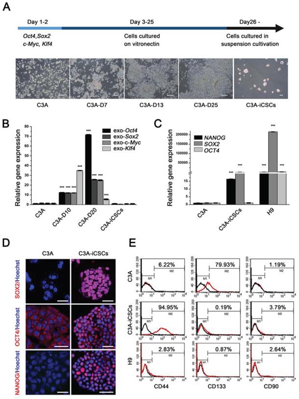 OSKM reprogramming of C3A cells into C3A-iCSCs.