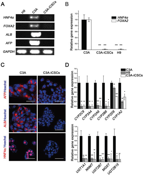 Hepatocyte phenotypes silenced in C3A-iCSCs.