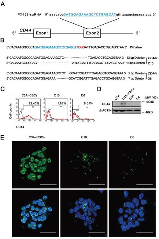 Generation of CD44 knockout C3A-iCSCs using CRISPR/Cas9 system.