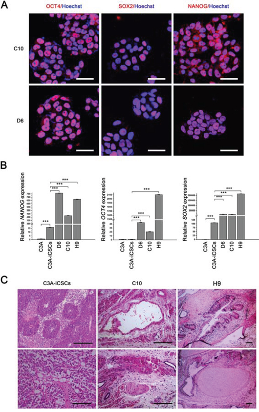 CD44− C3A-iCSCs acquired a greater capacity of pluripotency.