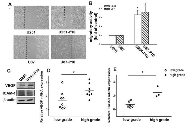 Migration-prone subline cells exhibit higher migratory ability than parental glioma cells.
