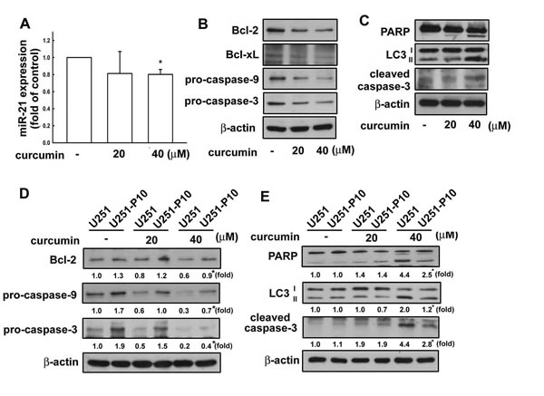 Curcumin regulates the expression of apoptosis-associated proteins in U251 cells.