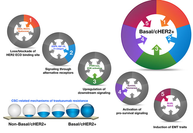 Basal-HER2+ BC cells accumulate a majority of the known mechanisms for trastuzumab resistance, which are not mutually exclusive, and whose key mediators are closely linked to CSCs.