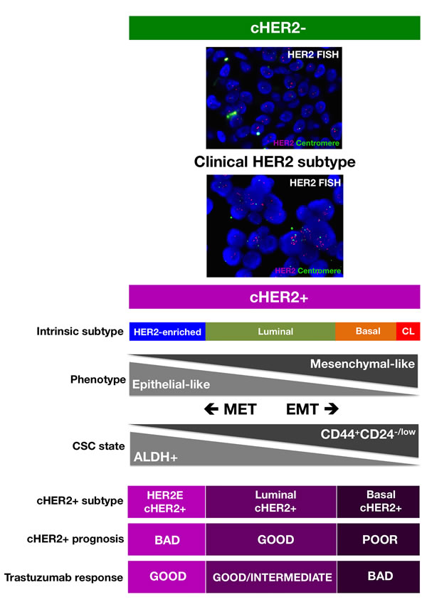 A new framewok for predicting the response of cHER2+ to trastuzumab that integrates the molecular distinctions of intrinsic BC subtypes with the most recent knowledge of CSC biology.