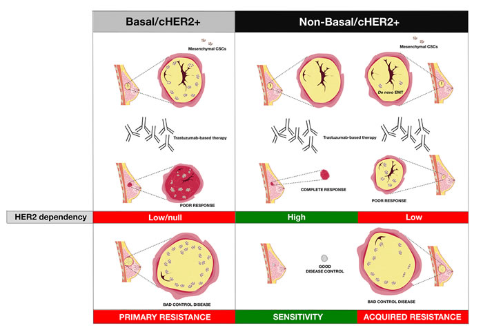 The intrinsic degree of plasticity determining the ability of cHER2+ BC to switch between epithelial and mesenchymal CSC states will vary across the continuum of mixed phenotypes, thus dictating their evolutionary response to trastuzumab.