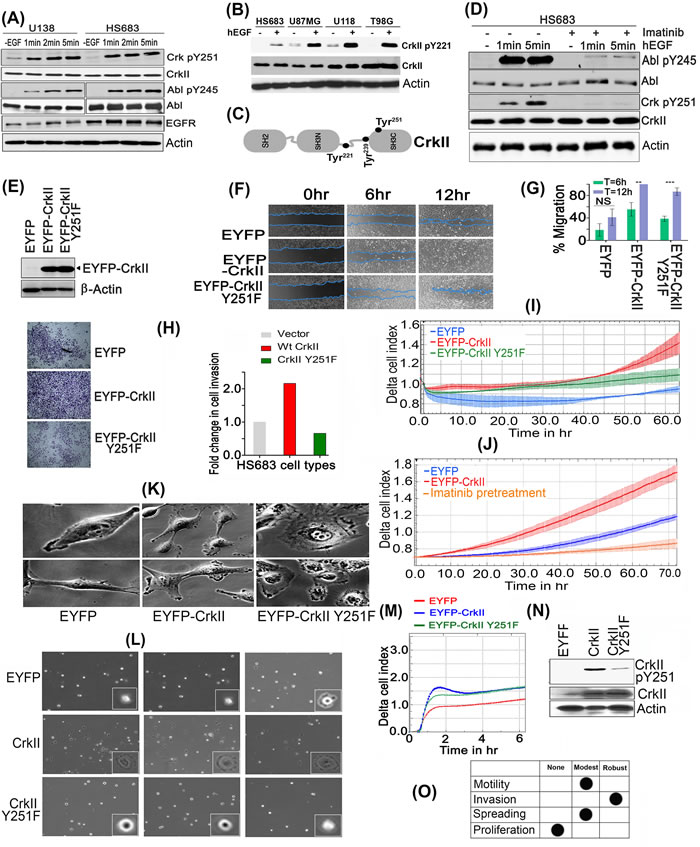 CrkY251 phosphorylation drives Abl transactivation and regulates distinct biological phenotypes in GBM cell lines.