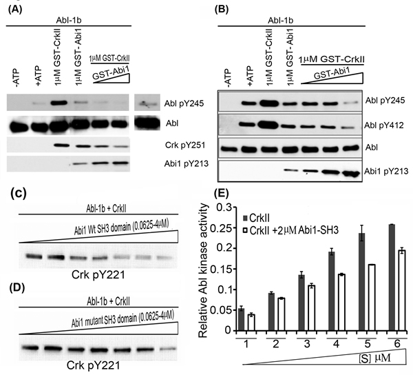 Abi1-Iso2 competes with Crk for Abl kinase Proline-rich domain:
