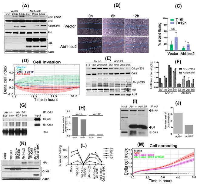 Reciprocal role of Abi1-Iso2 in Crk-mediated Abl transactivation and in Crk-Abl1b axis-mediated cell motility and invasion.