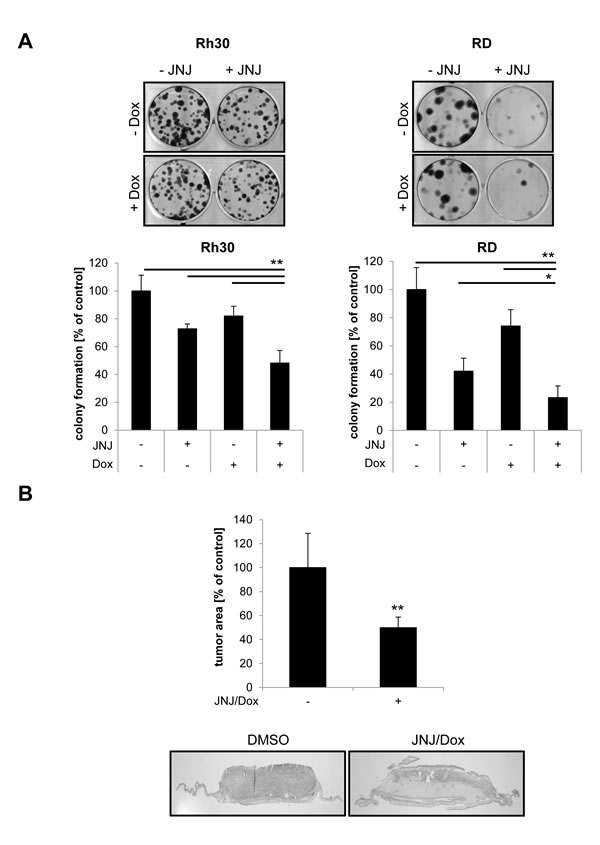 JNJ-26481585/Doxorubicin cotreatment suppresses clonogenicity of RMS cells and reduces tumor growth