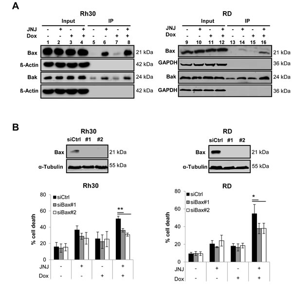 JNJ-26481585/Doxorubicin cotreatment stimulates activation of Bax and Bak, which are required for apoptosis.