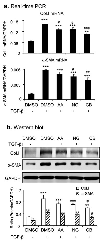 Combination of AA and NG produces a better protective effect on TGF-β1-induced fibrotic response in vitro.