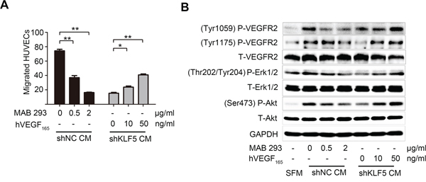 VEGFA mediates the angiogenic roles of KLF5 in bladder cancer.