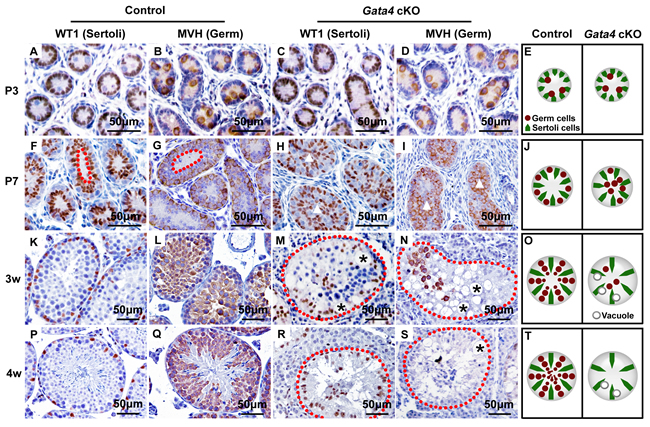 Morphological change at P7 and Sertoli-cell-only syndrome at 4 w in