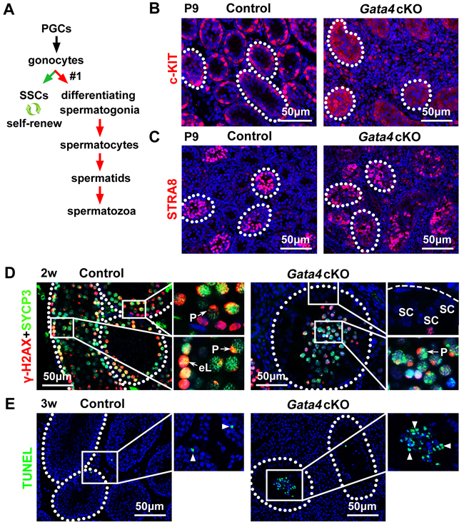Differentiation of gonocyte-derived differentiating spermatogonia but subsequent apoptosis of meiotic spermatocytes in