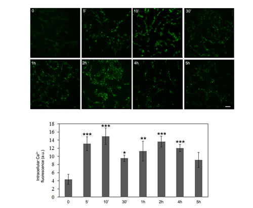 OLE induces a biphasic increase in intracellular Ca