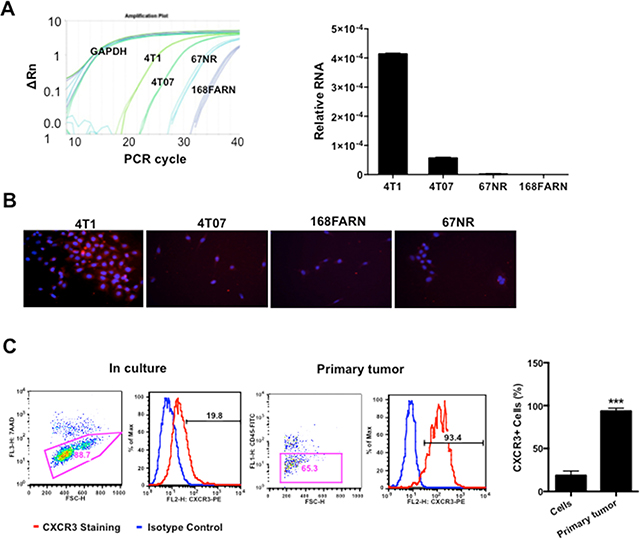 Figure 1. CXCR3 is increased in metastatic mammary tumor cells.