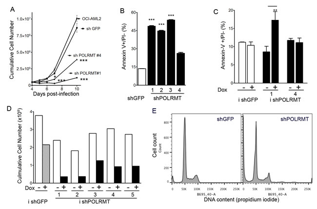 POLRMT knockdown inhibits growth and viability of OCI-AML2 cells.