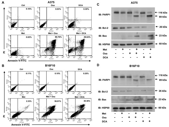Simultaneous blocking of lactate generation and complex I induces apoptosis in melanoma cells.