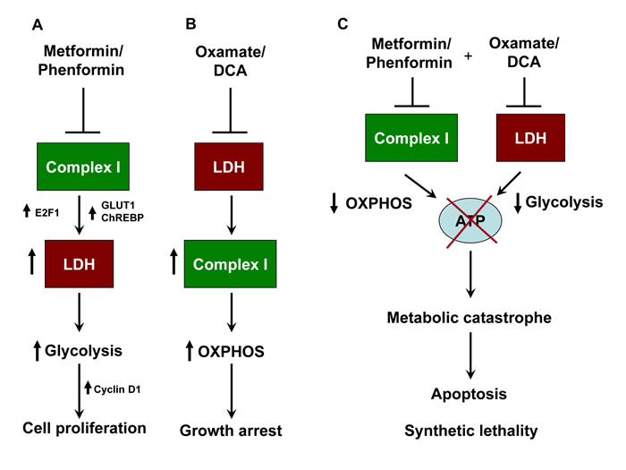 Schematic representation of synthetic lethality induced by combination of metformin and oxamate treatment in melanoma.
