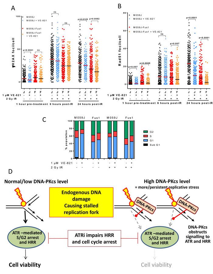 Effect of VE-821 on IR-induced DNA damage, HRR, cell cycle arrest and proposed mechanism in DNA-PKcs deficient and over-expressing cells.