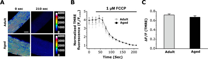 Measurement of mitochondrial membrane potential in FDB fibers from adult and aged mice.