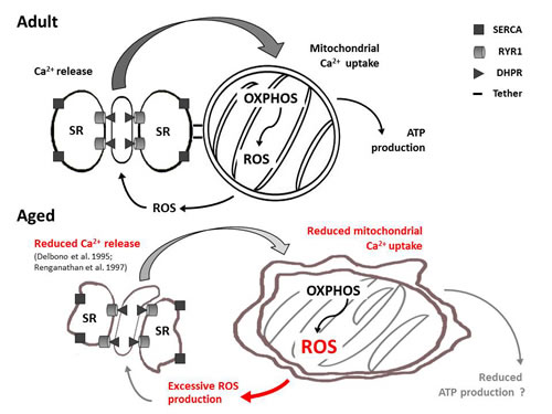 Model summarizing age-related changes to CRU-mitochondrial cross-talk.