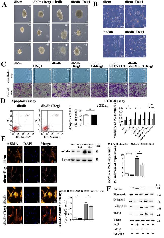 Reg1 inhibits the activation of ISCs via its receptor EXTL3.