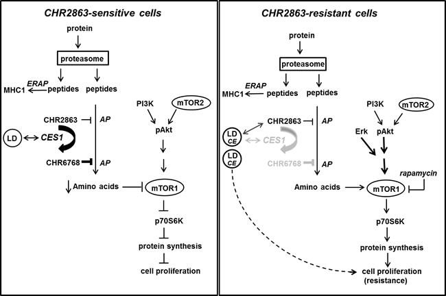 Composite model depicting mechanism of action of CHR2863 sensitivity in U937 cells (