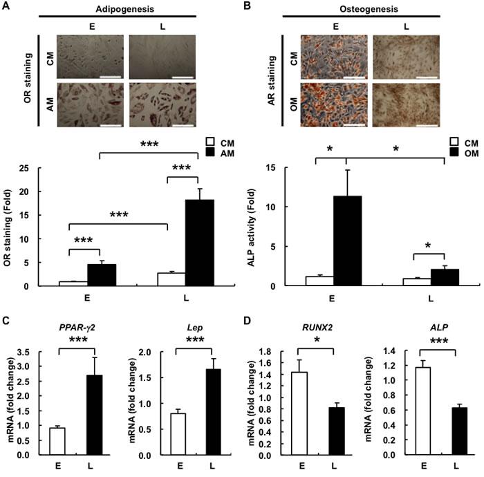 L-hAMSCs show an increased adipogenic but decreased osteogenic differentiation capacity.