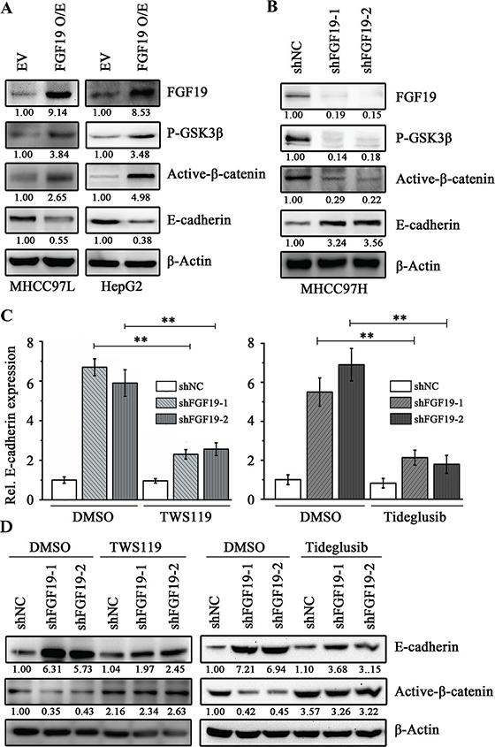 FGF19 induces EMT through GSK3β/β-catenin signaling.