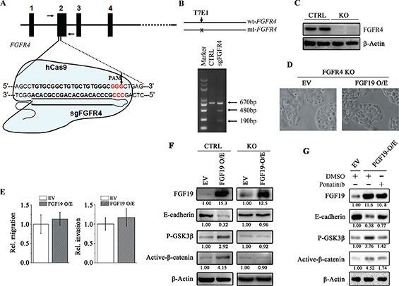 FGFR4 plays a critical role in FGF19-induced EMT.