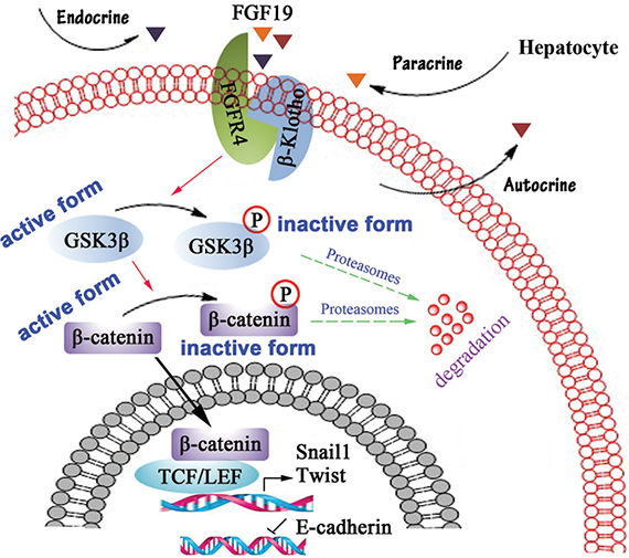 Schematic representation of FGF19/FGFR4 signaling pathway involves in EMT process in HCC cells.