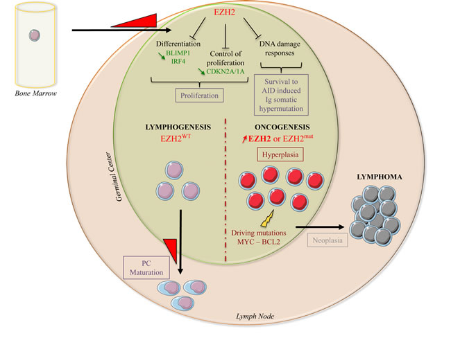 EZH2 biological functions during normal B-cell differentiation and lymphomagenesis.