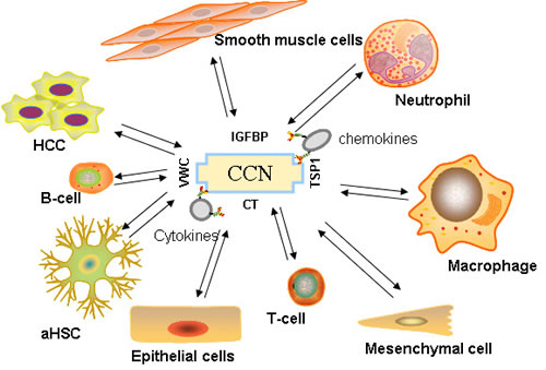 Immune signaling orchestrated by CCN proteins.