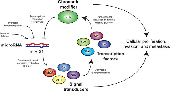 Model for mechanisms of interaction between miR-31 and EZH2 in melanoma cells.