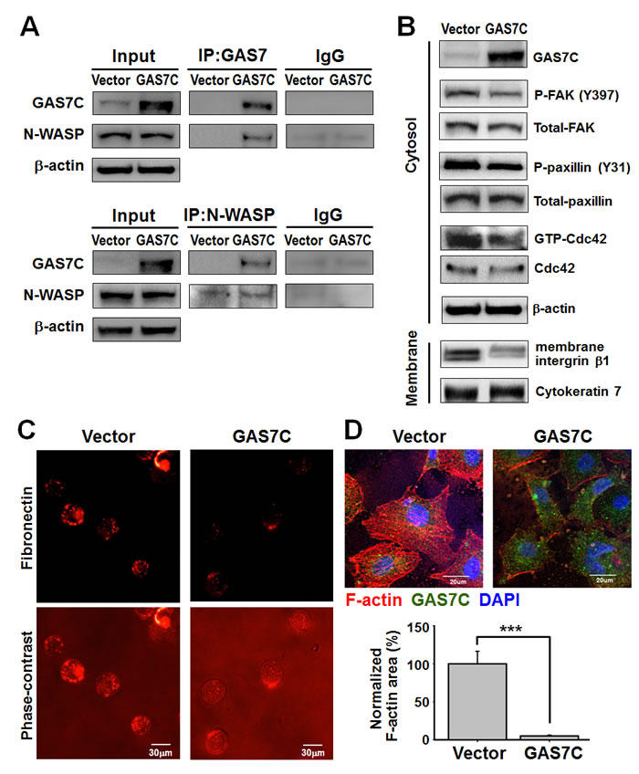 GAS7C protein is associated with N-WASP, which is involved in the fibronectin/integrin/FAK/F-actin dynamics pathway.