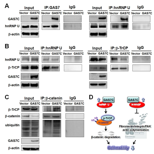 GAS7C protein is associated with hnRNP U, which is involved in the β-TrCP-mediated β-catenin degradation pathway.