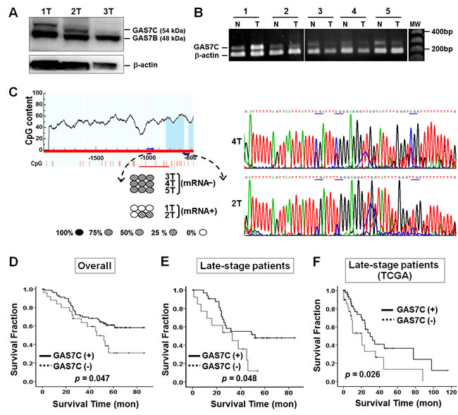 Epigenetic and survival analyses of GAS7C in lung cancer patients.