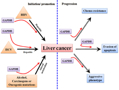 A schematic diagram showing the involvement of GAPDH in the processes related to the initiation/ promotion and progression of hepatocarcinogenesis.