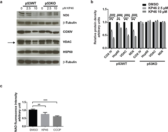 KP46 decreases mitochondrial protein content and mass