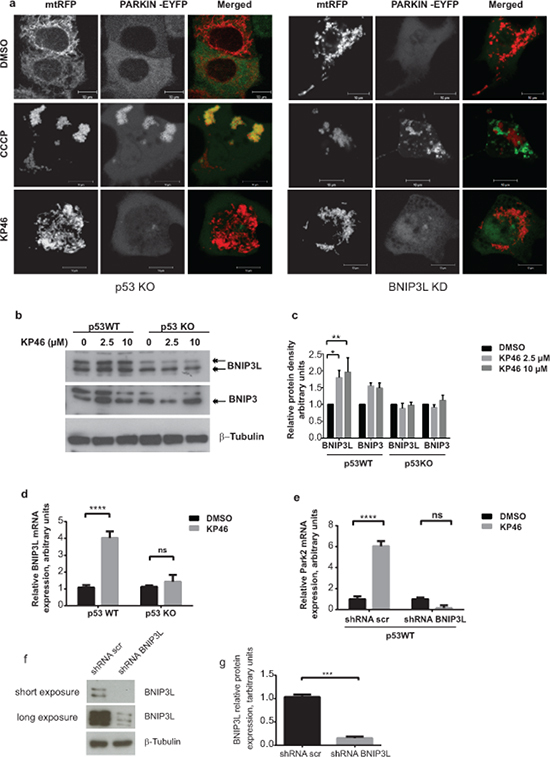 KP46 activates PARKIN in p53 and BNIP3L dependent manner.